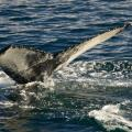 Séjour baleine en Islande